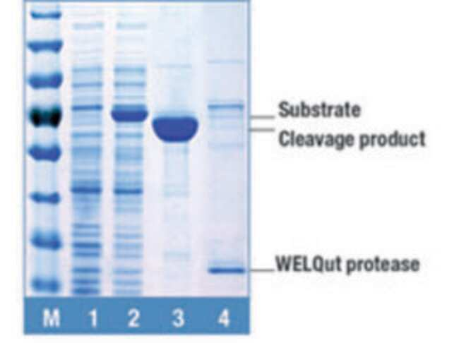 Target protein (Klenow Fragment (exo-)), containing His-tag and WELQut recognition sequence, was treated with WELQut on-column, during IMAC purification procedure. (<em>HisPur Ni-NTA Spin Columns, The